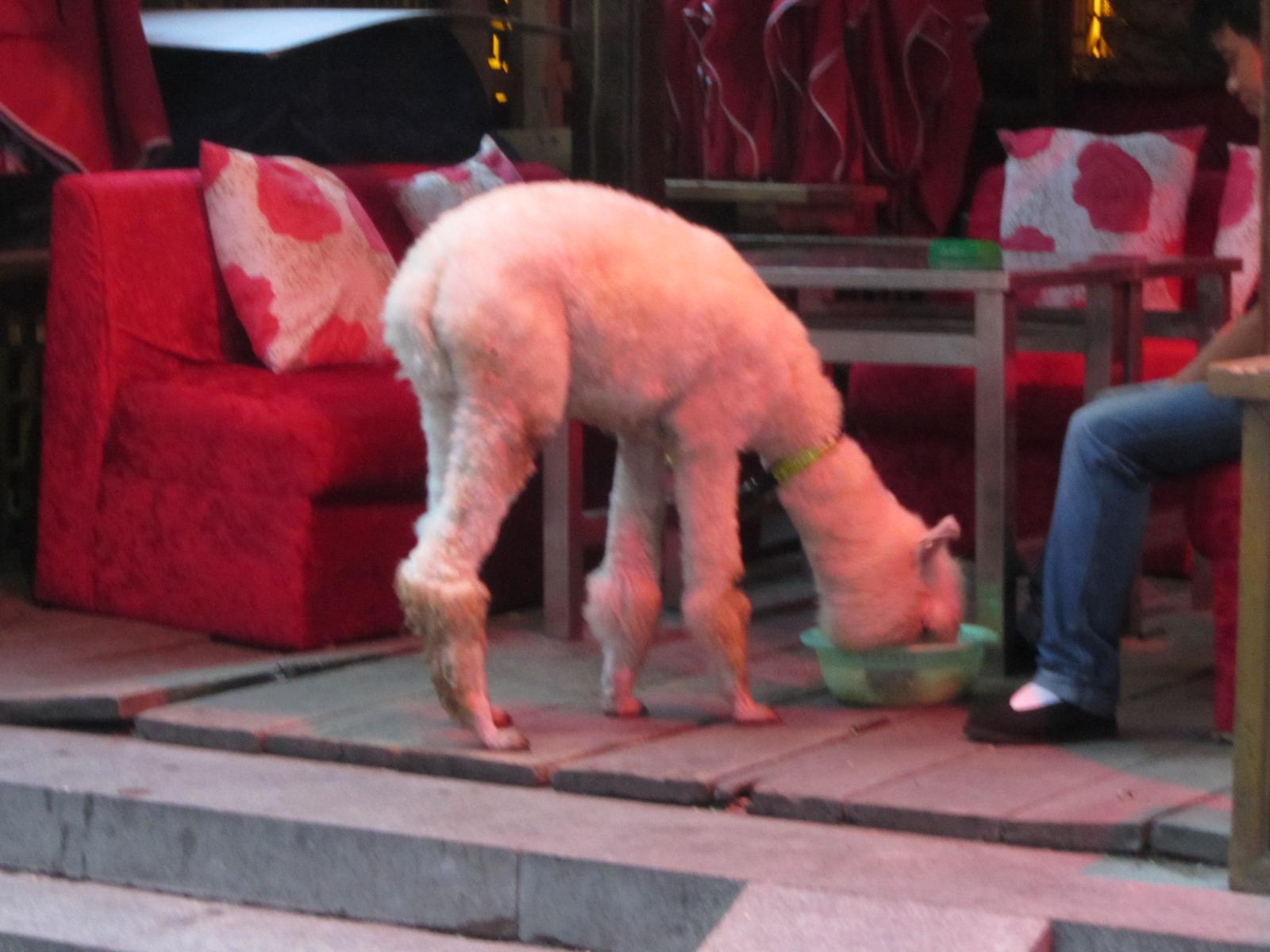 Un alpaga dans un bar, normal