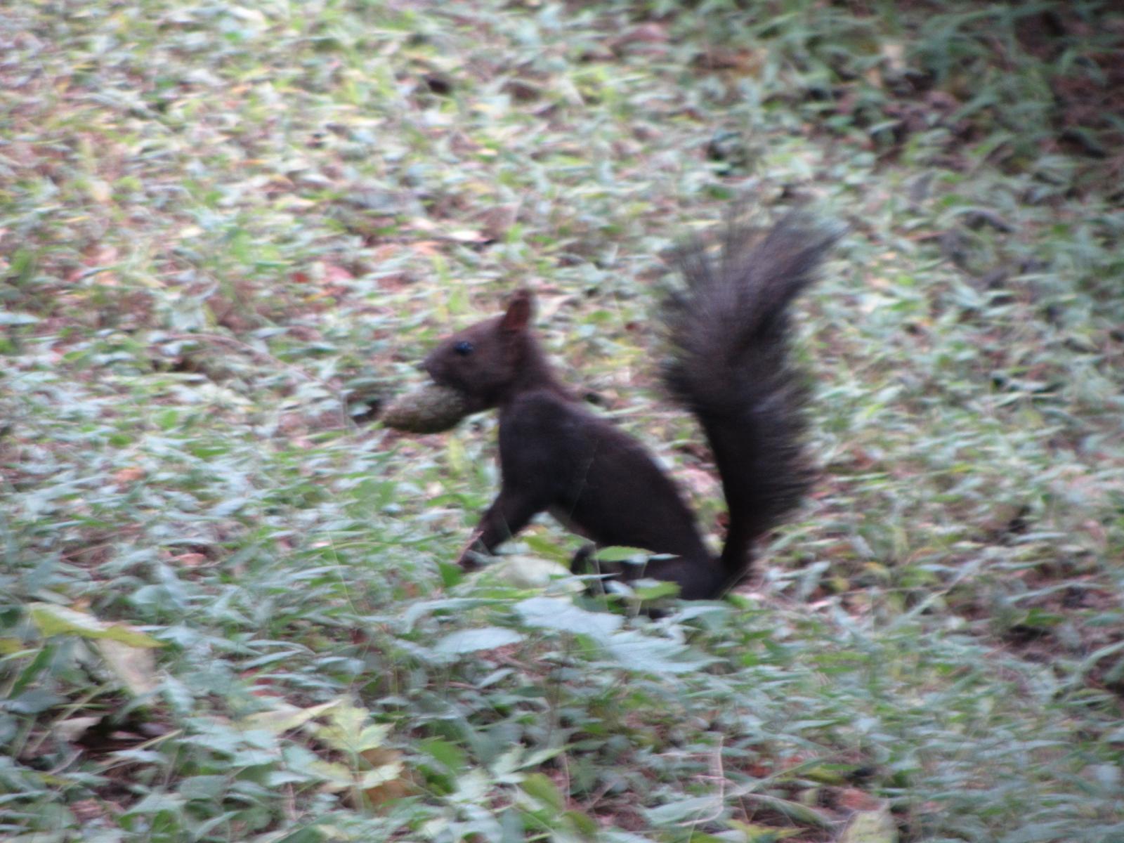un écureuil qui enterre son gland